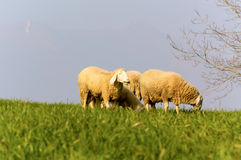 Out to pasture 1. The family of sheep to graze freely in the field, March 2014 Royalty Free Stock Images