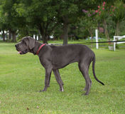 Out for a Walk. Gray Great Dane that is leashed and on the grass Stock Image