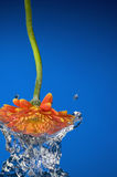 Out of water flower. Studio shot of an orange flower comming out of water Royalty Free Stock Photo