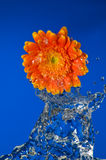 Out of water flower. Studio shot of an orange flower comming out of water Royalty Free Stock Photography