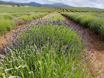 Lavender farm Tasmania Australia royalty free stock photo