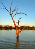 Outback billabong tree at sunset. Dead tree in an Outback billabong Royalty Free Stock Photo