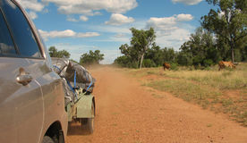 Outback Camping Holiday. 4WD travelling through the Australian Outback on a dirt road with cattle grazing on the side. There's a trailer on the back with dust stock photo