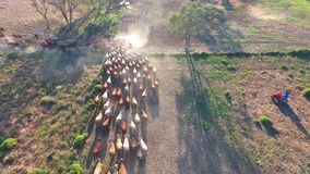 Outback Cattle Mustering with herd of cattle