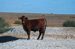 Outback cow. South Australia stock photography