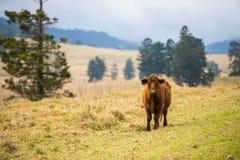 Outback Cow Stock Photos