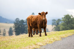 Outback Cow Royalty Free Stock Photography