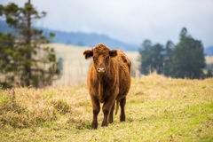 Outback Cow Stock Photo