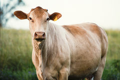 Outback Cow Stock Images