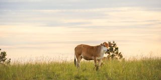 Outback Cow Royalty Free Stock Images