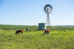 Outback Cows Royalty Free Stock Photos