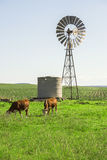 Outback Cows Royalty Free Stock Images