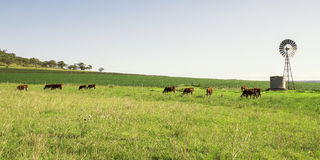 Outback Cows Stock Photo