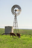 Outback Cows Stock Photography