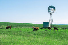 Outback Cows Royalty Free Stock Image