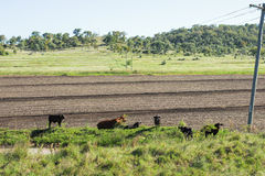 Outback Cows Royalty Free Stock Photo