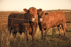 Outback Cows Royalty Free Stock Photography
