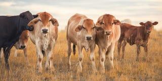 Outback Cows Stock Photos