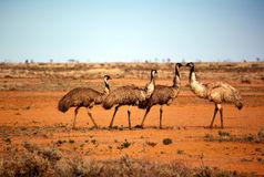 Outback Emus Royalty Free Stock Image