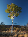 Outback Gum Tree at sunset Royalty Free Stock Image