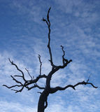 Outback Tree. Charred eucalyptus tree from recent bush fire in Australian outback (Northern Territories) against a blue sky with clouds Stock Photography