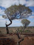 outback tress Royaltyfria Foton
