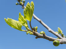 Outbreaks of a fig tree in spring Royalty Free Stock Photos