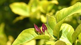 Outbreaks of lemon tree, lemon tree leaves growing.  stock video footage