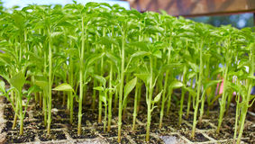 Outbreaks sprouts in nursery on Solanaceae Royalty Free Stock Image