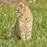 Outbred Cat on the Grass. Outbred Cat Sitting on the Green Grass Stock Photos