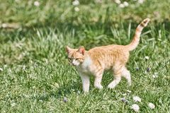 Outbred Cat on the Grass. Outbred Cat Walking on the Green Grass Stock Image