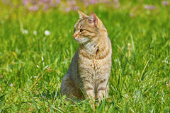 Outbred Cat. On The Green Grass Stock Image