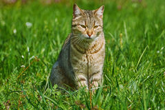 Outbred Cat. On The Green Grass Royalty Free Stock Photo