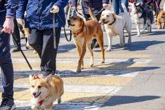 Outbred dog, corgi, labrador, staffordshire terrier, husky royalty free stock photos