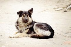 Outbred furry dog lies on the ground stock photography