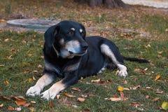 Outbred hund med ledsna ?gon som ligger p? gr?set arkivfoton