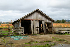 Outbuilding on pumpkin farm. Kent, WA, USA November 28, 2016: Weathered building with broken boards and a severe lean shows signs of many seasons on a pumkin Royalty Free Stock Photography
