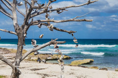 Outdated tree with seashells on the beach of Isla Mujeres, Mexico Royalty Free Stock Photography
