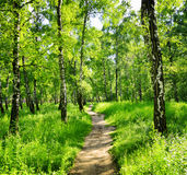 Birch forest on a sunny day Stock Photography