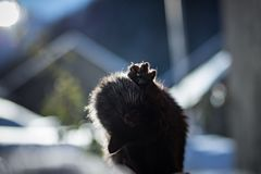 Outdoor black cat. Grooming itself royalty free stock photography