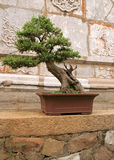 Outdoor bonsai. Bonsai tree by the oriental wall Stock Image