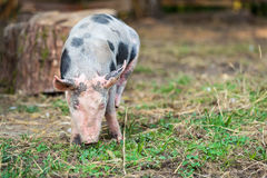 Outdoor bred cute pink piglet Royalty Free Stock Images