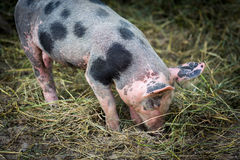 Outdoor bred cute pink piglet Stock Photos