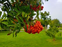 Outdoor Bunches of rowan on a branch on the background of the park Clouse up Colors green and orange Royalty Free Stock Photos