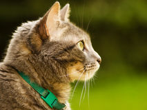 Outdoor cat. A cat sitting outdoors looks off in the distance Royalty Free Stock Photo