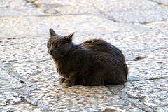Outdoor Cat. Beautiful grey stray cat on a cobblestone street. Selective focus stock photo