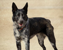 Outdoor Cattle Dog Portrait. An outdoor portrait of a cattle dog stock photo
