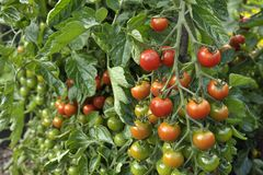 Cherry Tomatoes on the vine. Outdoor Cherry tomatoes, F1 Sweet Million, ripening on the plant in a vegetable garden Stock Photos