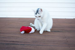 Outdoor christmas kitty cat portrait sitting next to christmas h. Outdoor christmas cat portrait, Cute holidays cat, White kitty cat sitting and playing with red Royalty Free Stock Photos