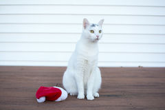 Outdoor christmas kitty cat portrait sitting next to christmas h. Outdoor christmas cat portrait, Cute holidays white cat, White kitty cat sitting next to a red Stock Photography
